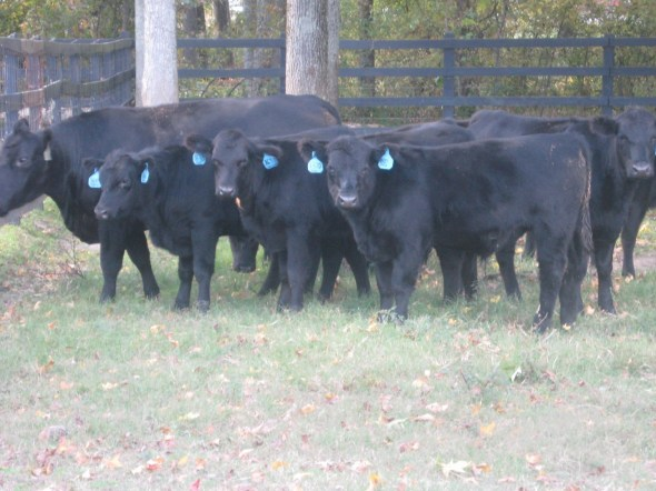 PVF Registered Angus