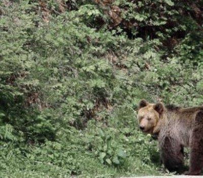 POGLEDAJTE: Medvjed na putu Ljutići – Mataruge