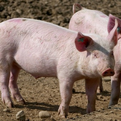 Uprava za bezbjednost hrane: Obavezan pregled svinjskog mesa na trihinelu