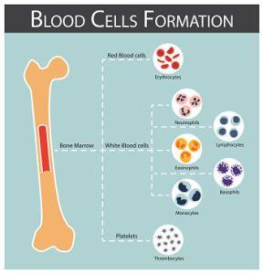 Blood cells Formation, PV Reporter, lymphocytes , neutrophils , monocytes , eosinophils , basophils , thrombocytes