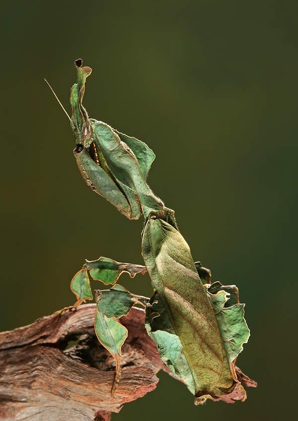 green ghost mantis