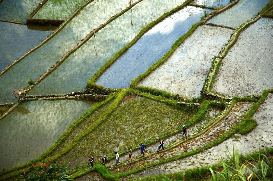 Rice Fields - Philippines