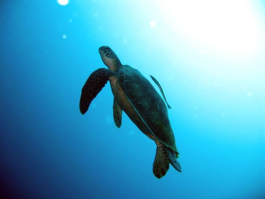 Turtle in Philippines