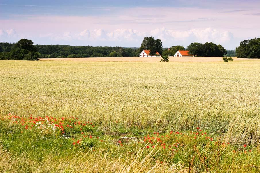 Маковые поля в Дании