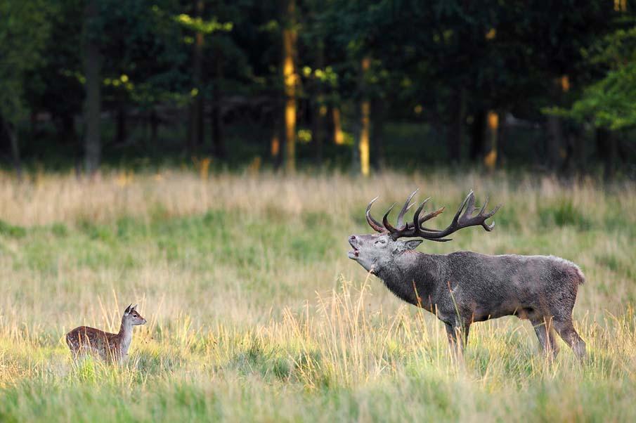 Понты Deer