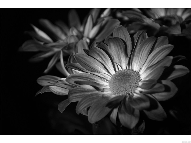 Flowers in black and white picture  by Lorena 99 for  bw flowers     Flowers in black and white