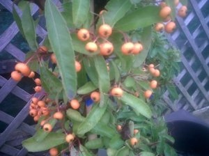 Pyracantha 'Mohave' which produce orange berries