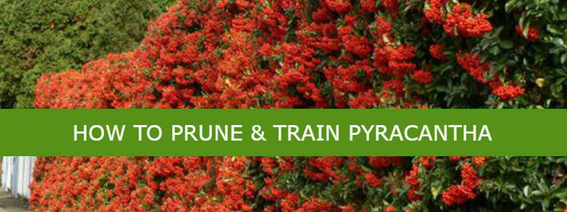 Pruning Amp Training Pyracantha Co Uk