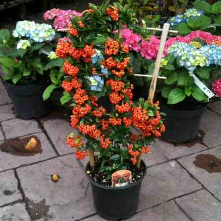 Commonly referred to as the Firethorn, this Evergreen shrub is incredibly easy to grow and it will thrive in multiple settings, whether planted as a specimen shrub, trained onto a trellis, used as a hedge, or grown in a container.