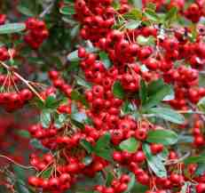 Pyracantha 'Red Column' is an evergreen shrubs used for training up walls and hedges