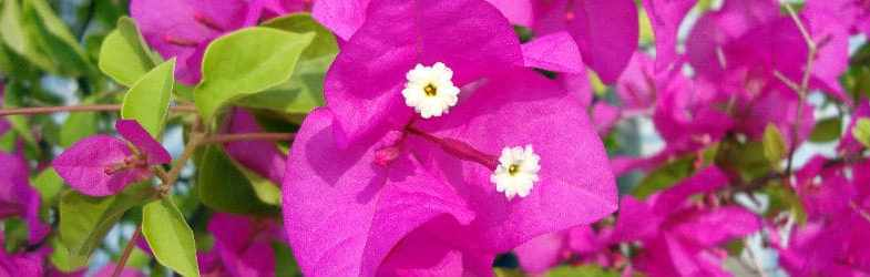 Bougainvillea plants, how to grow this stunning plant