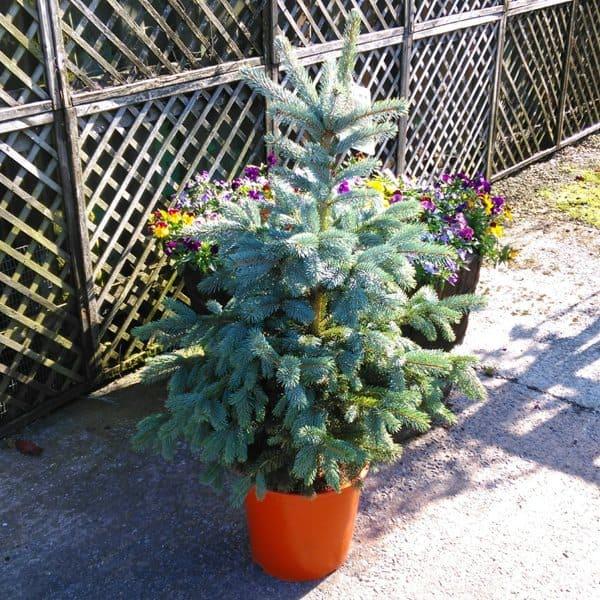 pot grown christmas tree