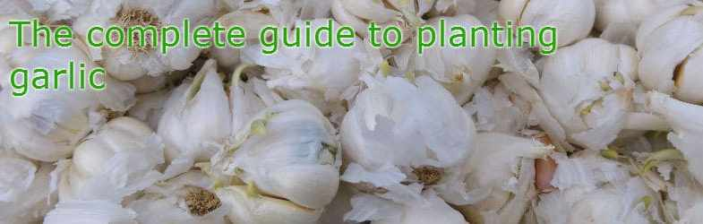 When to plant garlic – Growing Guide to growing garlic outdoors and indoors