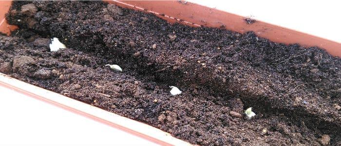 growing garlic in pots