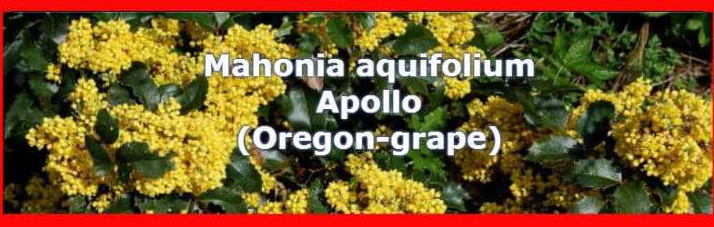 Mahonia aquifolium apollo flowers in spring