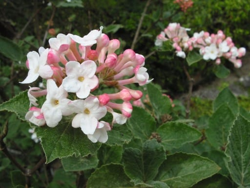 Viburnum carlesii deciduous fast growing shrub
