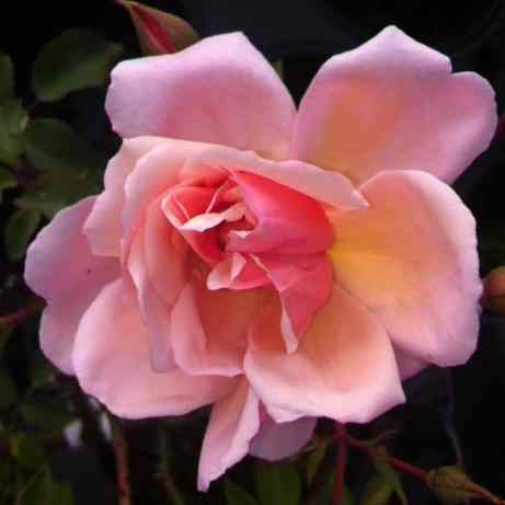 Albertine rambling rose, perfect for attracting wildlife into the garden providing cover and nectar for bees