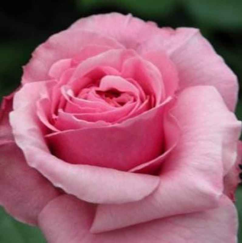 aloha climbing rose