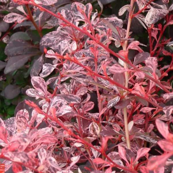 Berberis harlequin that is a deciduous variety. Prune in spring after flowering