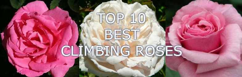 Top 10 Best Climbing Roses For Your Garden