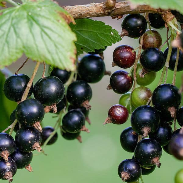 Prune Blackcurrant plants in autumn to late winter around every 4 years removing the oldest branches
