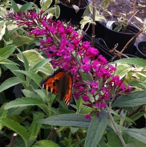 fast growing Buddleia davidii ideal for screening