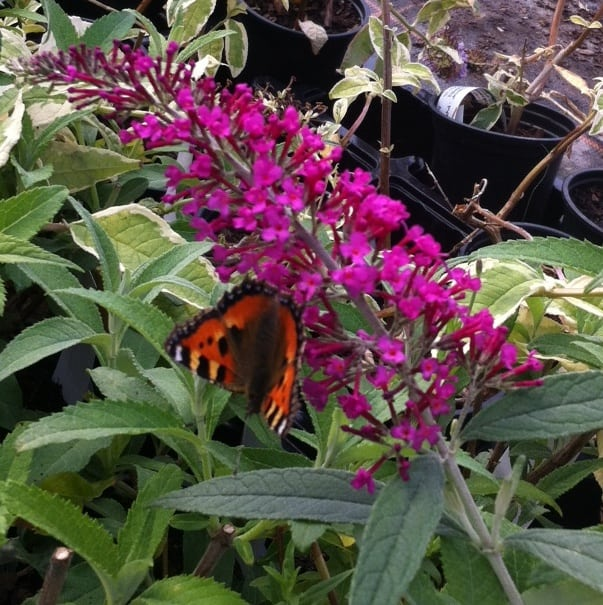 Take Buddleia cutting in spring, they are known as softwood cutting and root quickly.