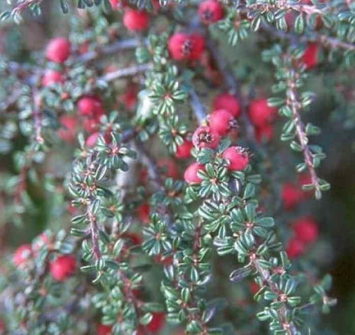 cotoneaster microphyllus evergreen shrub