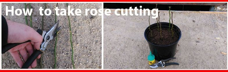 How to take rose cutting – Step by step guide