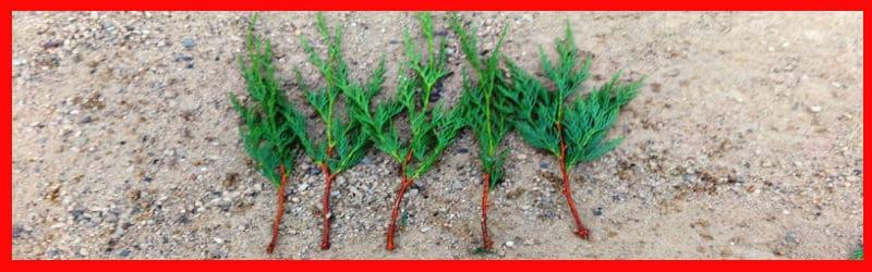 leylandii cutting ready to plant
