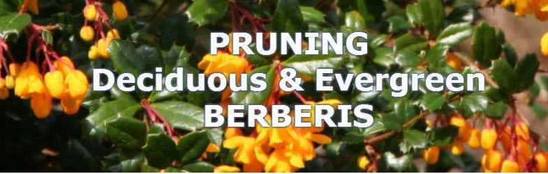 Pruning berberis for a healthy plant or hedge