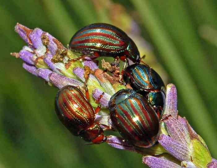 rosemary beetle on lavender