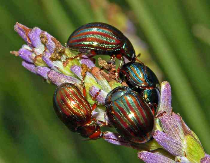 rosemary beetle on lavender