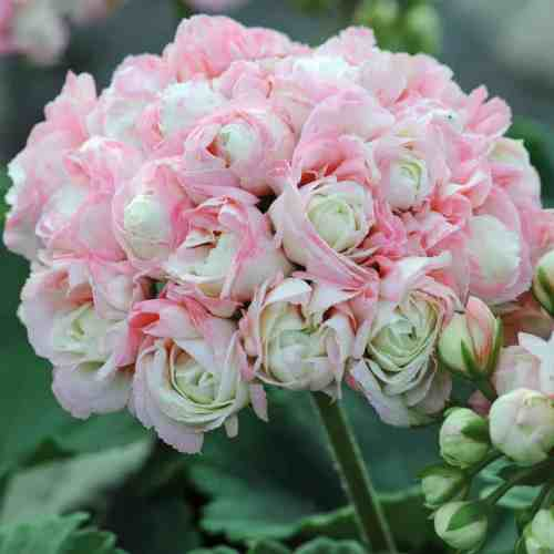 Geranium Pelargonium is one of the best hanging basket flowers. Ideal for the centre of your hanging basket.