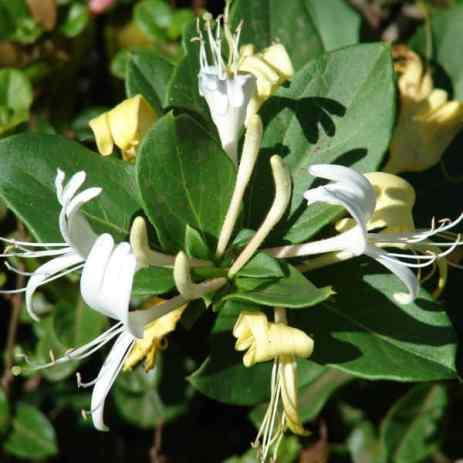 Lonicera japonica Halliana ideal for shade