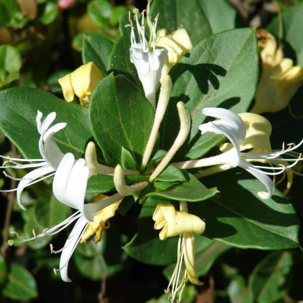 Lonicera japonica Halliana ideal for shade