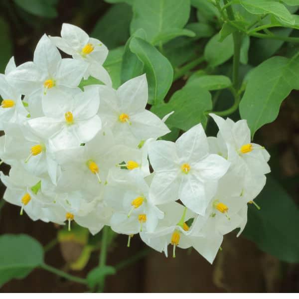 Solanum climbing plant ideal for partial shade