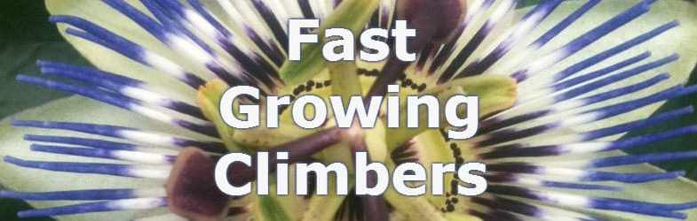 Fast growing climbers