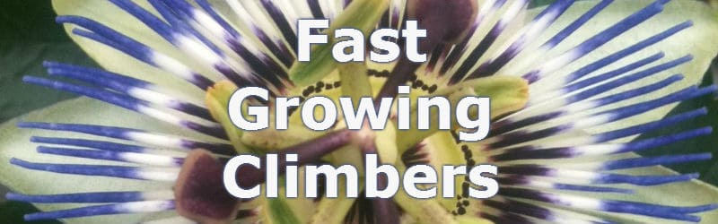 15 Of The Most Vigorous Fast Growing Climbers