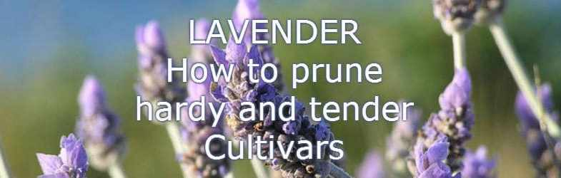 How to prune lavender – Hardy and tender cultivars