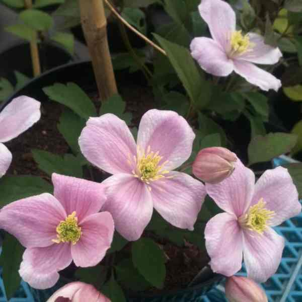 clematis montana ideal for shadier areas of the garden