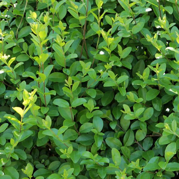 privet is available in green and gold and is a evergreen fast growing hedging plant.