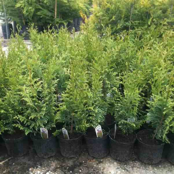 Thuja plicata also known as Western Red Cedar is a evergreen fast growing conifer