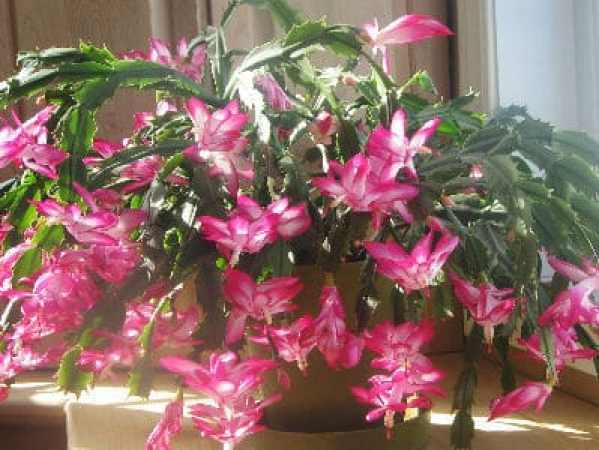 repotting christmas cactus how and when to re pot repot after flowering into - Repotting Christmas Cactus