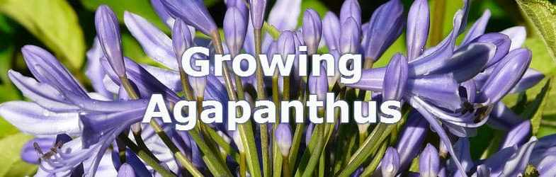 Growing Agapanthus – How to grow this exotic looking plant