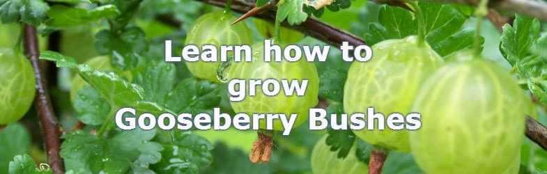 Growing Gooseberries