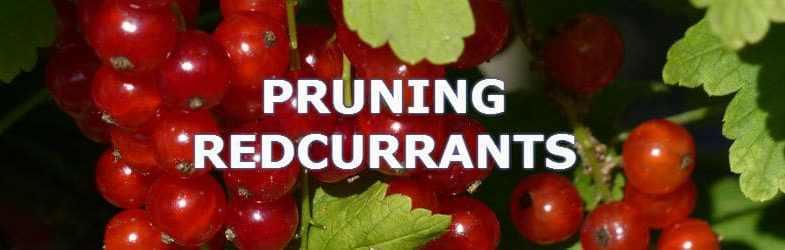 Pruning Redcurrants