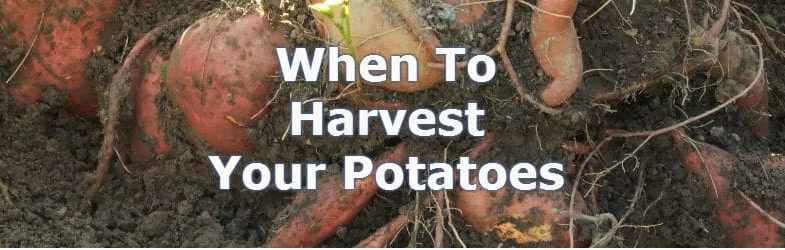 When to harvest potatoes for the best crop possible