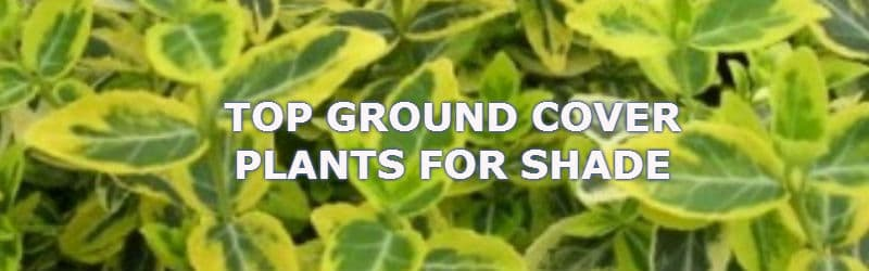 ground cover plants for shade  pyracantha.co.uk, Natural flower