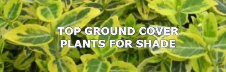 Ground cover plants for shade